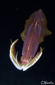 calamaro immersione notturna